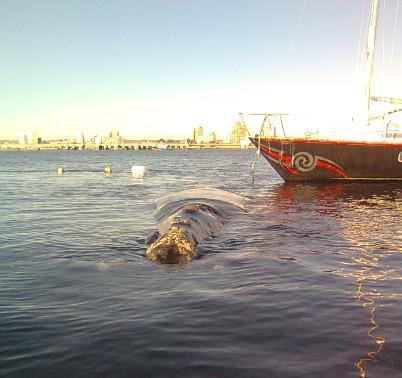 La ballena juega con el calabrote del velero CARMEN.